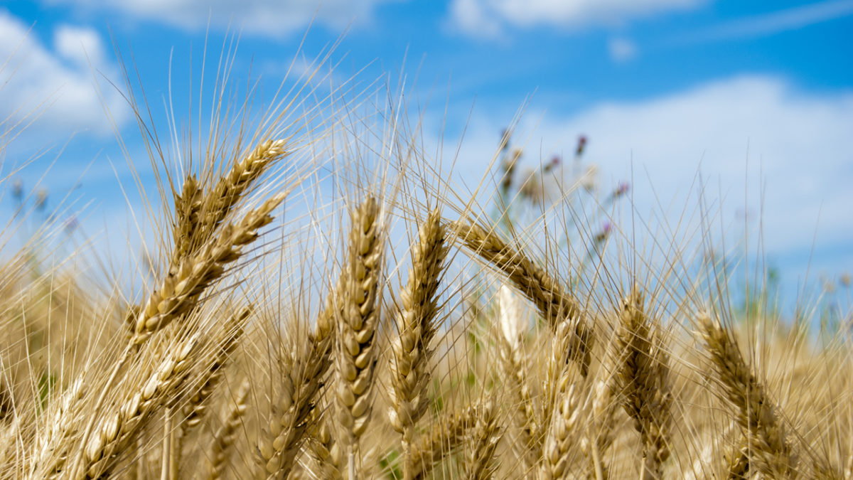 Wheat and Weeds: Matthew 13.24-30; 36-43